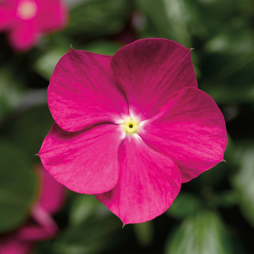 Cora® Cascade Violet - Vinca - Catharanthus roseus