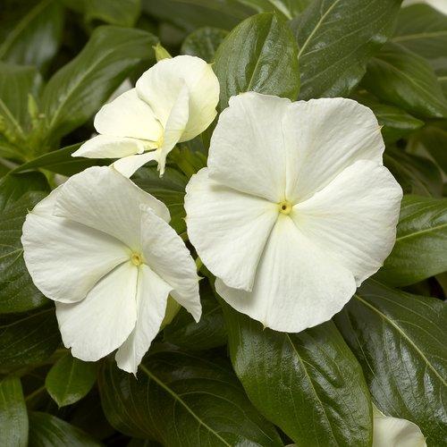 Cora® Cascade White - Vinca - Catharanthus roseus