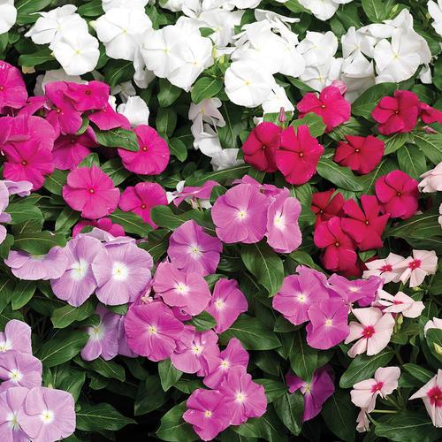 Cora® Mix - Vinca - Catharanthus roseus