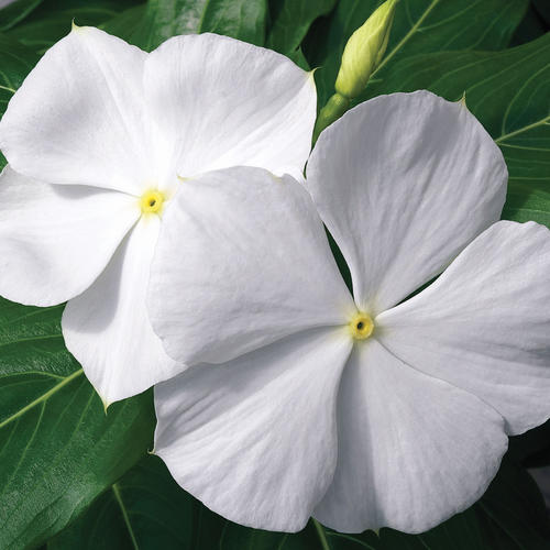 Cora® White - Vinca - Catharanthus roseus