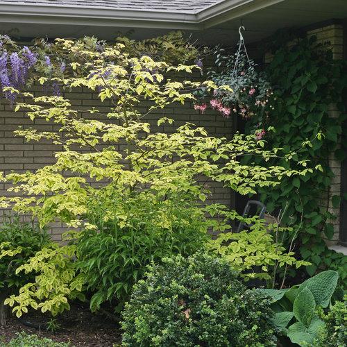 Golden Shadows® - Pagoda Dogwood - Cornus alternifolia