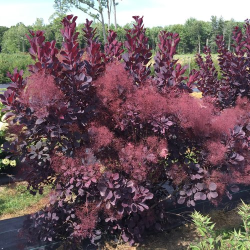 cotinus_winecraft_black_3.jpg