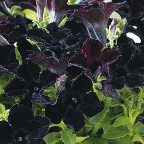 Crazytunia Black Mamba Petunia Hybrid Proven Winners