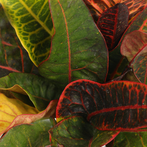 Excelente - Rushfoil - Croton species