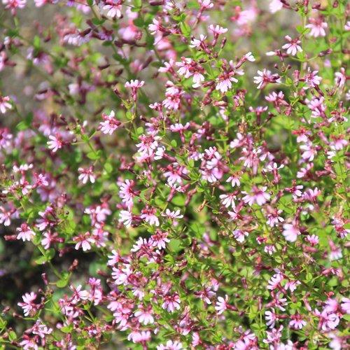 cuphea_ramosissima_fairy_dusttm_pink_07-aug_2.jpg