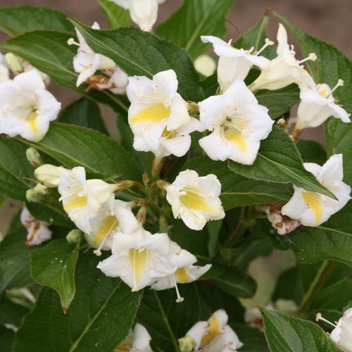 Czechmark Sunny Side Up® - Weigela florida