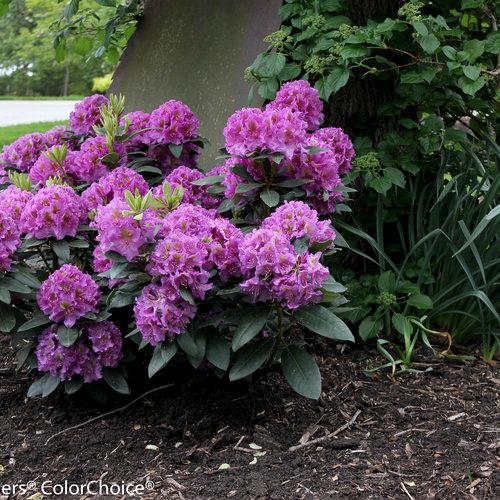 dandy_man_purple-4596.jpg