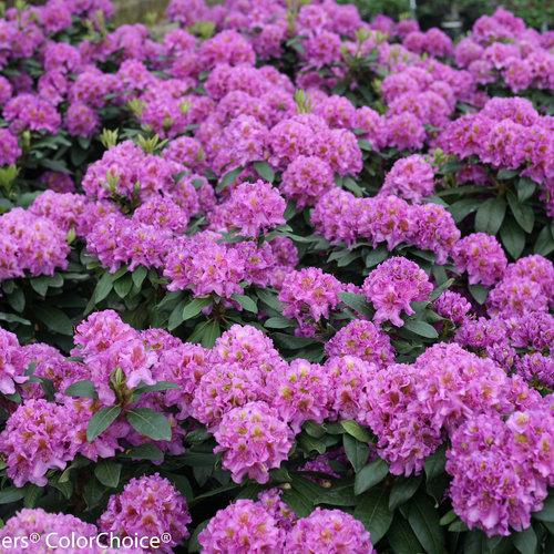 dandy_man_purple-9432.jpg