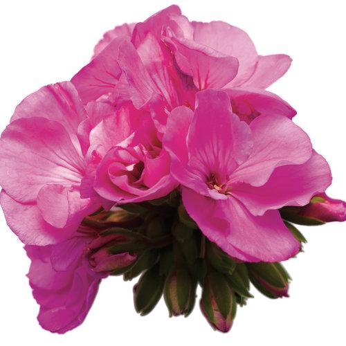 daredevil orchid 01.jpg