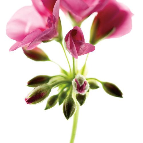 daredevilorchidsplash02.jpg