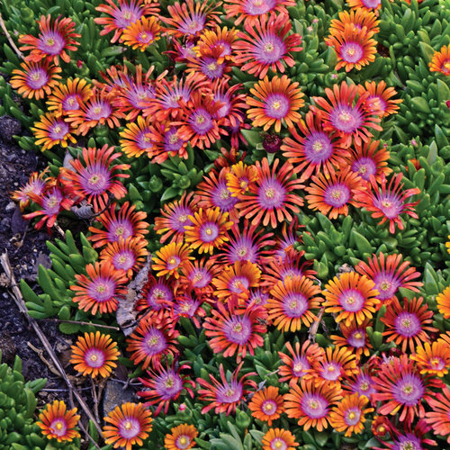 FIRE SPINNER® - Hardy Ice Plant - Delosperma hybrida