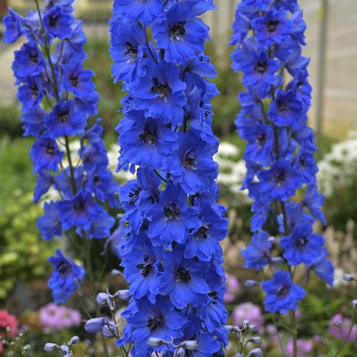 Million Dollar Blue - Hybrid Bee Delphinium - Delphinium elatum