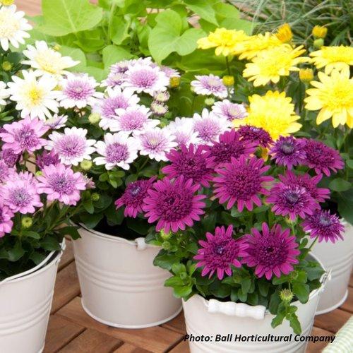 4D™  - African Daisy - Osteospermum hybrid