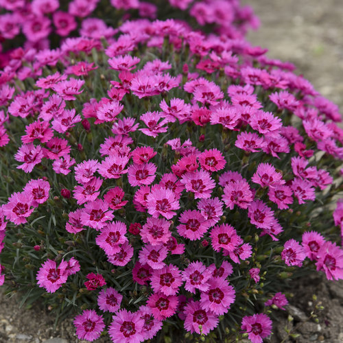 'Paint the Town Fancy' - Pinks - Dianthus hybrid