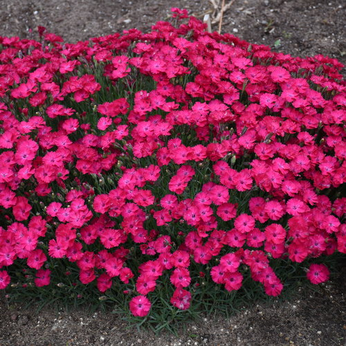 dianthus_paint_the_town_red_cjw19_5.jpg