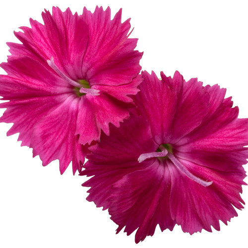dianthus_paint_the_town_red_macro_02.jpg