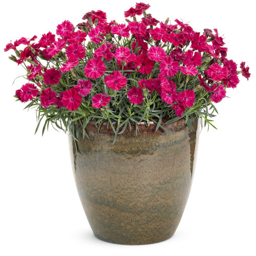 dianthus_paint_the_town_red_mono.jpg