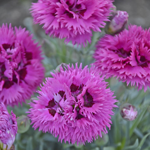 dianthus_spiked_punch.jpg