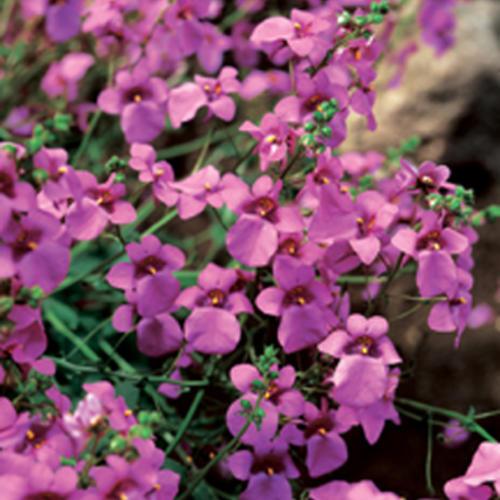 Flying Colors® Trailing Antique Rose - Twinspur - Diascia hybrid