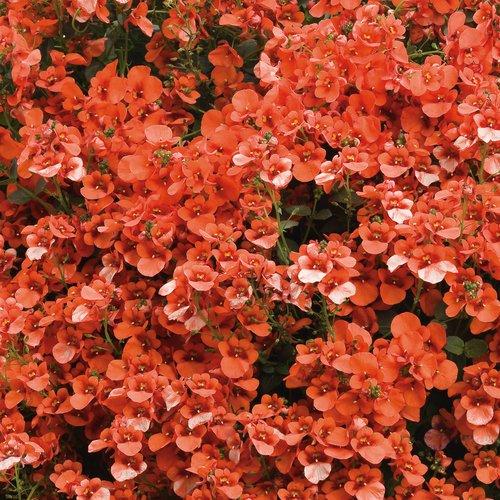 Flirtation® Orange - Twinspur - Diascia hybrid