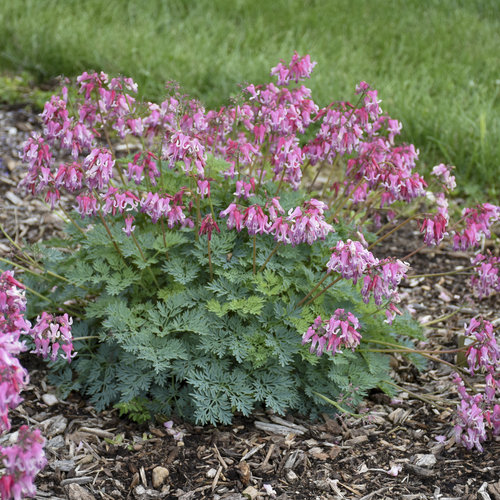 dicentra_pink_diamonds_apj19_14.jpg