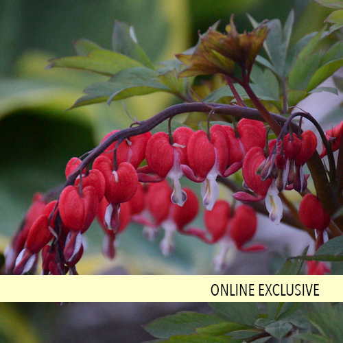 Valentine® - Old-Fashioned Bleeding Heart - Dicentra spectabilis