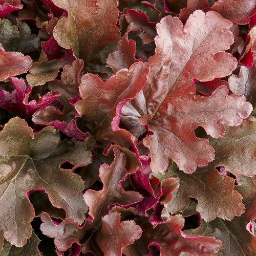 Dolce® Cinnamon Curls™ - Coral Bells - Heuchera hybrid