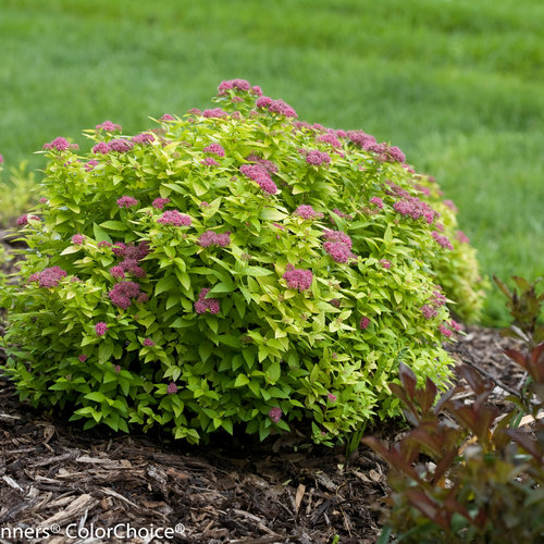 double_play_big_gold_spirea-7284.jpg