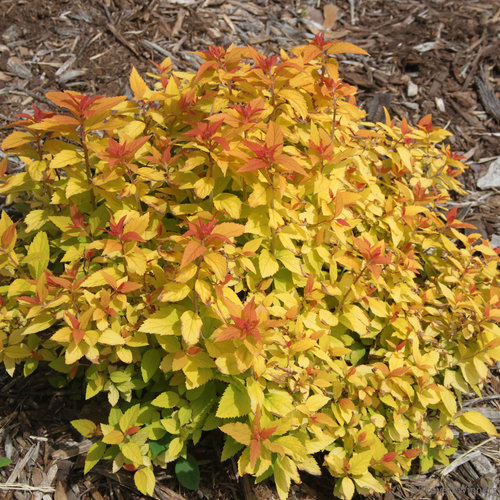 double_play_candy_corn_spirea_habit.jpg