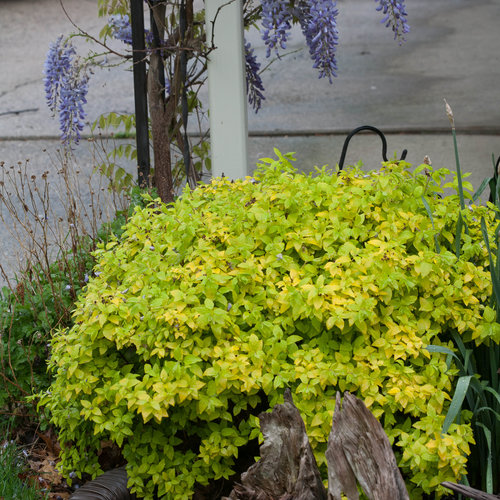 double_play_gold_spirea-6039.jpg