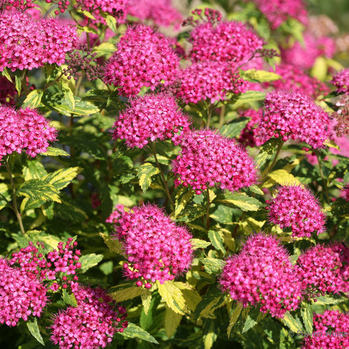 double_play_painted_lady_spiraea_blooms.jpg