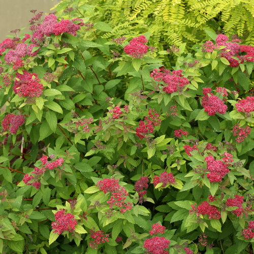 double_play_red_spirea_plant.jpg