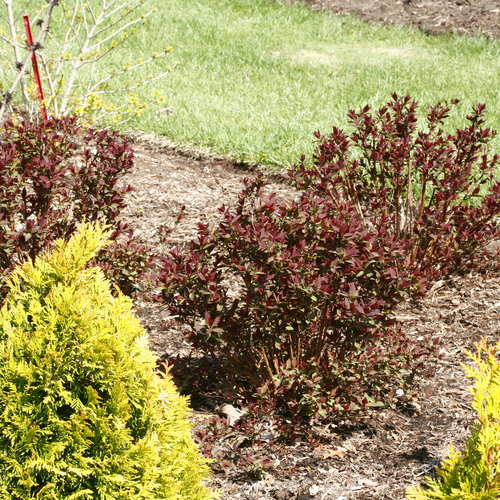 double_play_red_spirea_spring_color.jpg