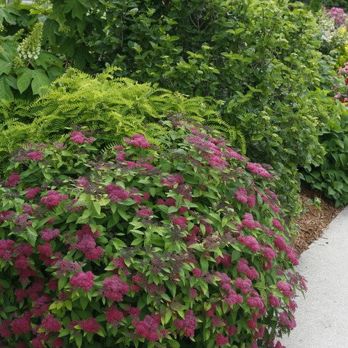 double_play_spirea_landscaping.jpg