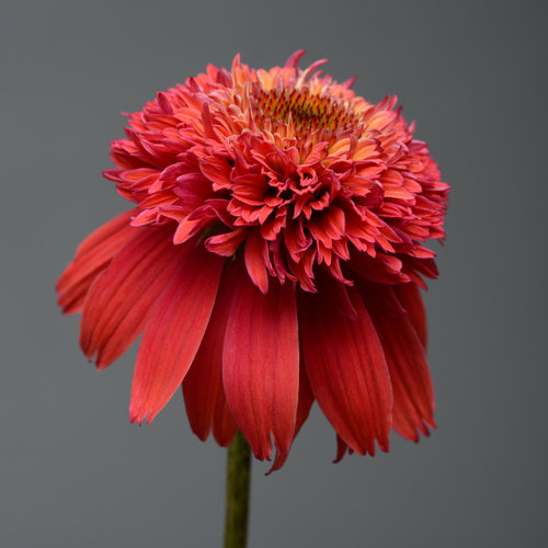 double_scoop_orangeberry_echinacea_ech14-17883.jpg