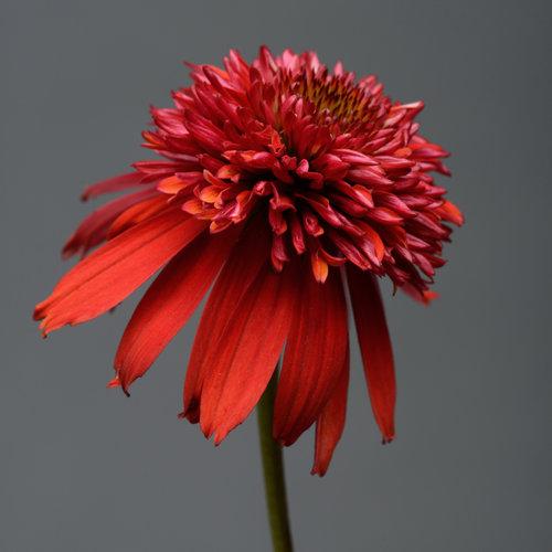 Double Scoop™ Raspberry - Coneflower - Echinacea hybrid