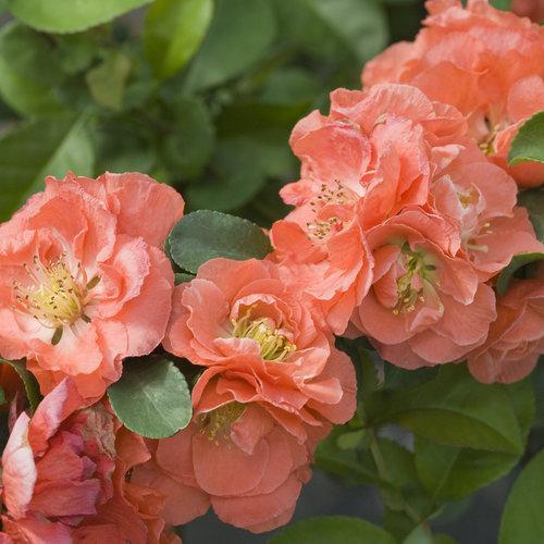 Double Take Peach™ - Quince - Chaenomeles speciosa