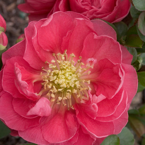Double Take® Pink - Quince - Chaenomeles speciosa