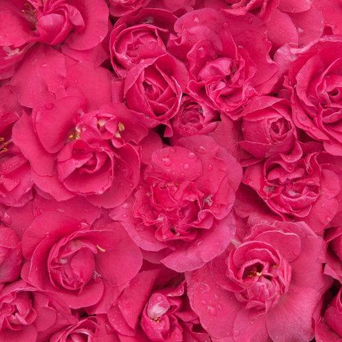 double_take_pink_multi_blooms.jpg