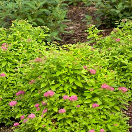 Double Play® Gold - Spirea - Spiraea japonica
