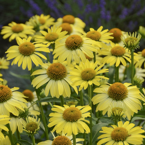 Butterfly 'Cleopatra' - Coneflower - Echinacea hybrid