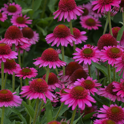Delicious Candy - Coneflower - Echinacea hybrid