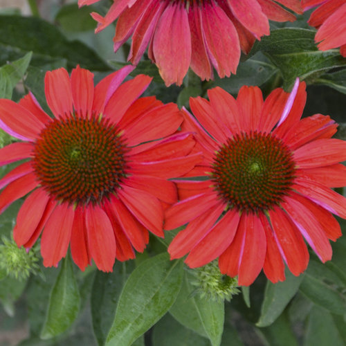 echinacea_16-86-12_apj17_15.jpg