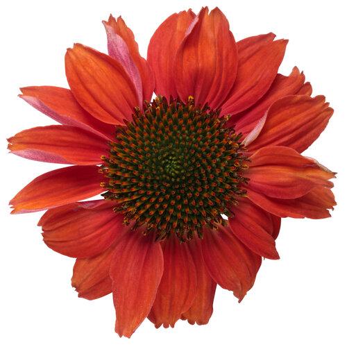 echinacea_color_coded_frankly_scarlet_macro_02.jpg