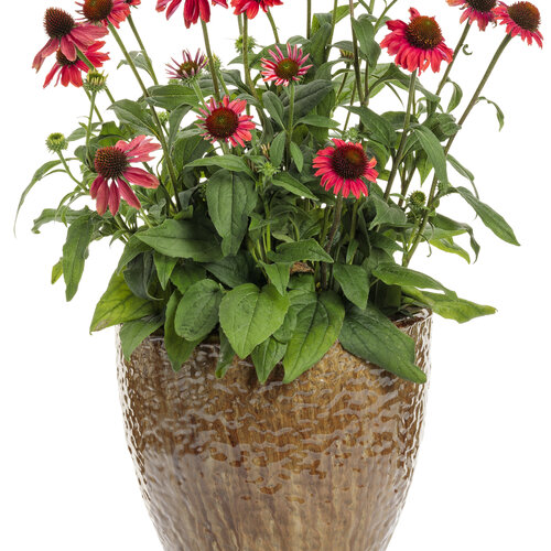 echinacea_color_coded_frankly_scarlet_mono.jpg