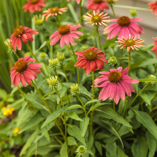 echinacea_color_coded_orange_you_awesome_02.jpg