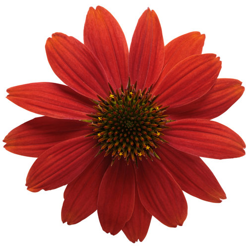 echinacea_color_coded_orange_you_awesome_03_macro.jpg