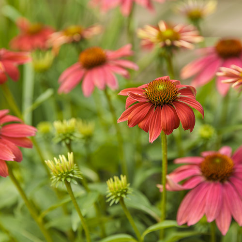 echinacea_color_coded_orange_you_awesome_05.jpg