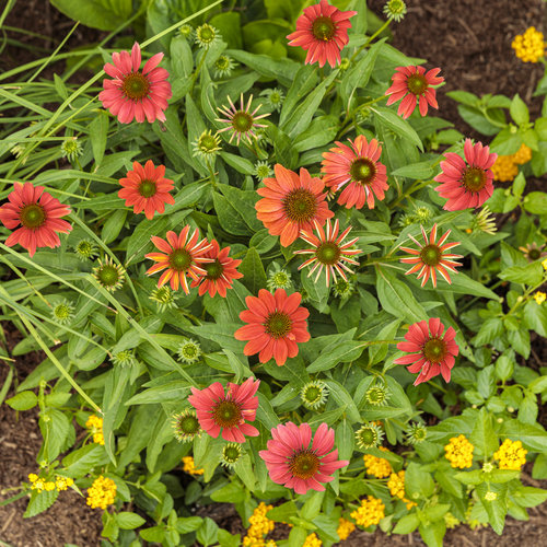 echinacea_color_coded_orange_you_awesome_12.jpg