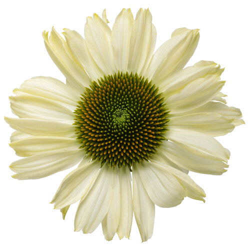echinacea_color_coded_the_price_is_white_macro_02.jpg